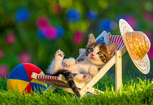 Domestic Tabby and white kitten (Felis catus) aged five weeks, lying in garden deckchair with sunhat, France.  -  Klein & Hubert
