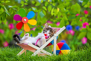 Domestic Tabby and white kitten (Felis catus) aged five weeks, lying in garden deckchair with pinwheel, France. - Klein & Hubert