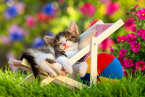 Domestic  tabby and white kitten (Felis catus) aged five weeks, sleeping garden deckchair, France.  -  Klein & Hubert