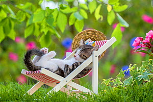 Domestic Tabby and white kitten (Felis catus) aged five weeks, sleeping in deckchair in garden, France. - Klein & Hubert