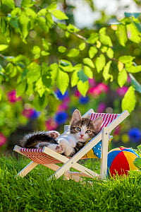 Domestic tabby and white kitten (Felis catus) aged five weeks, lying in deckchair, France. - Klein & Hubert
