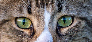 Semi-longhaired domestic tabby and white cat (Felis catus) panoramic image, detail of eyes, France.  -  Klein & Hubert