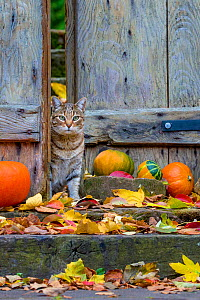 Tabby cat (Felis silvestris catus) in wooden gate of autumn garden, Alsace, France.  -  Klein & Hubert