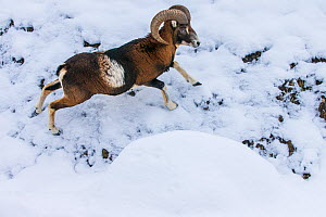 European mouflon (Ovis musimon) ram running in snow in winter, Germany Captive. - Klein & Hubert