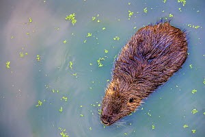 Coypu (Myocastor coypus) looking down on one in pond, France - Klein & Hubert