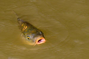 Common carp (Cyprinus carpio) with mouth open at water surface, France  -  Klein & Hubert