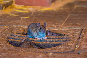 Brown rats (Rattus norvegicus) on manhole cover in abandoned old house, Germany - Klein & Hubert