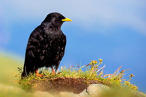 Alpine chough (Pyrrhocorax graculus) on rock in alpine meadow, Austria  -  Klein & Hubert