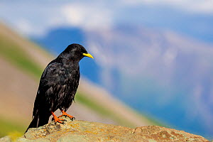 Alpine chough (Pyrrhocorax graculus) on rock in Alps, Austria  -  Klein & Hubert