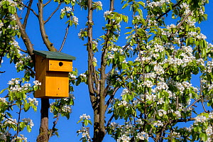 Nesting box for small birds in flowering Pear tree (Pyrus spinosa) in spring, France  -  Klein & Hubert