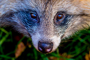 Raccoon dog (Nyctereutes procyonoides) face portrait, invasive species in Europe, Germany. Captive - Klein & Hubert