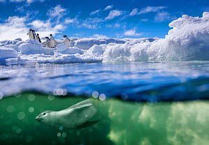 Leopard seal (Hydrurga leptonyx) in sea, hunting near an iceberg where Adelie penguins (Pygoscelis adeliae) are waiting to dive, Antarctica Digital composite  -  Klein & Hubert