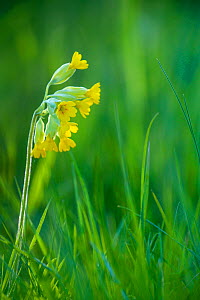 Common Cowslip (Primula veris) flowering in spring pasture. - Klein & Hubert