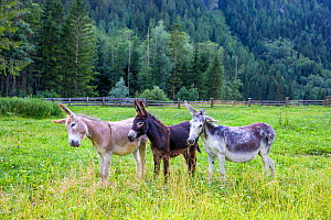 Three domestic donkeys (Equus asinus) of different colors, light brown, dark brown and grey with foal in meadow, Austria. - Klein & Hubert