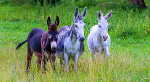 Three domestic donkeys (Equus asinus) of different colors, white, grey and dark brown in meadow, Austria. - Klein & Hubert