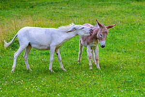 White domestic donkey (Equus asinus) biting a cinnamon-colored fellow in meadow, Austria. - Klein & Hubert