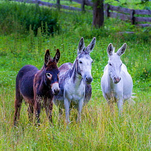 Three domestic donkeys (Equus asinus) of different colors. White, grey and dark brown in meadow, Austria. - Klein & Hubert