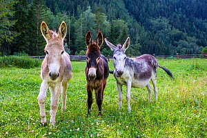 Three domestic donkeys of different colors (Equus asinus) light brown, dark brown and grey with foal in meadow, Austria. - Klein & Hubert