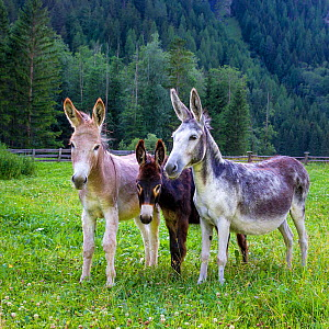 Three domestic donkeys (Equus asinus) of different colors, light brown, dark brown, grey with foal in meadow, Austria. - Klein & Hubert