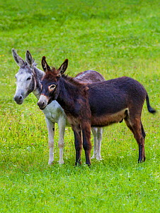 Two domestic donkeys (Equus asinus) of different colors, grey and dark brown in meadow, Austria. - Klein & Hubert