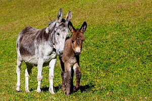 Domestic domestic donkey and foal (Equus africanus asinus) in meadow,  Austria. - Klein & Hubert