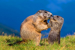 Alpine marmot (Marmota marmota) young sharing a kiss with his mother, Austria - Klein & Hubert