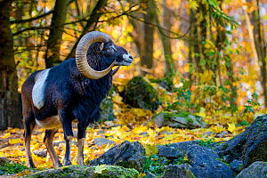European mouflon (Ovis musimon) ram in autumn woodland, Germany Captive. - Klein & Hubert