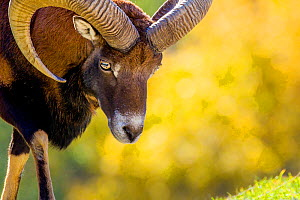 Mouflon de Corse - portrait d'un b�lier en automne Allemagne Ovis aries musimon European mouflon - portrait of ram in autumn Germany Captive. - Klein & Hubert