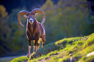 European mouflon (Ovis musimon) ram on alpine meadow in autumn, Germany Captive. - Klein & Hubert