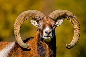 European mouflon (Ovis musimon) ram head portrait in autumn, Germany Captive. - Klein & Hubert
