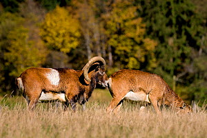 European mouflon (Ovis musimon) ram sniffing female in autumn, exhibiting flehmen, Germany Captive. - Klein & Hubert