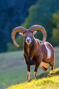 European mouflon (Ovis musimon) ram portrait in autumn, Germany Captive. - Klein & Hubert