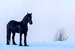 Friesian horse (Equus caballus), mare standing in snow, France. - Klein & Hubert