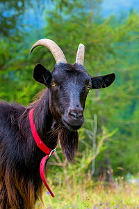 Valais Blackneck domestic domestic goat (Capra aegagrus hircus) head portrait with red collar, Austrian Alps.  -  Klein & Hubert