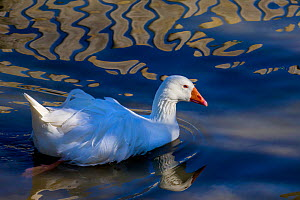 Domestic goose (Anser anser) in pond with refracted light, Germany.  -  Klein & Hubert