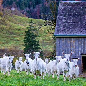 Herd of domestic Appenzell domestic domestic goats leaving stable in the early morning, Canton d'Appenzell, Switzerland.  -  Klein & Hubert