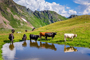 Black Angus and mixed breed cows (Bos taurus) drinking in alpine pond, Austrian Alps.  -  Klein & Hubert