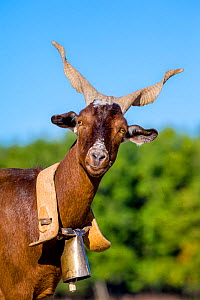 Domestic Rove goat (Capra aegagrus hircus) head portrait wearing traditional collar and bell, Provence, France.  -  Klein & Hubert