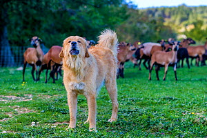 Female Tibetan mastiff livestock guardian dog (Canis lupus familiaris) guarding Cameroon sheep, Provence, France.  -  Klein & Hubert