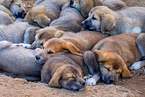 Livestock guardian dogs, Anatolian Shepherd puppies(Canis lupus familiaris) lying together, Provence, France.  -  Klein & Hubert