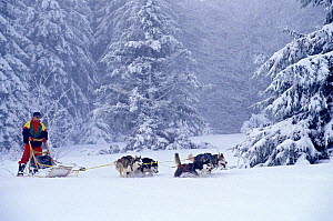 Siberian Husky sledge team running in snow, Vosges, France.  -  Klein & Hubert