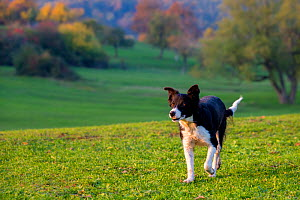 Border collie (Canis lupus familiaris)  in autumn meadow, France. - Klein & Hubert