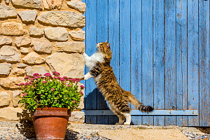 Semi-longhaired calico cat (Felis silvestris catus) standing on rear legs against stone wall with Stonecrop (Sedum spectabile), Provence, France  -  Klein & Hubert