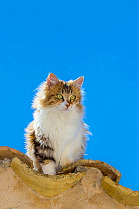 Semi-longhaired calico cat (Felis silvestris catus) on roof, Provence, France. - Klein & Hubert