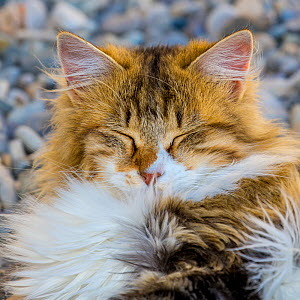 Semi-longhaired calico cat (Felis silvestris catus), head portrait with eyes shut, Provence, France. - Klein & Hubert