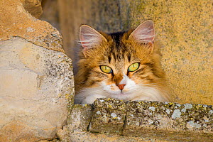 Semi-longhaired calico cat (Felis silvestris catus) head shot on wall, Provence, France. - Klein & Hubert