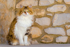 Semi-longhaired calico cat (Felis silvestris catus) sitting in front of stone wall, Provence, France. - Klein & Hubert