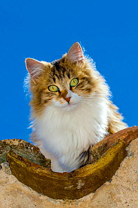 Semi-longhaired calico cat (Felis silvestris catus) head portrait on roof, Provence, France. - Klein & Hubert