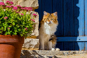 Semi-longhaired calico cat sitting on doorstep with Stonecrop (Sedum spectabile), Provence, France. - Klein & Hubert
