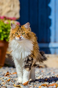 Semi-longhaired calico cat (Felis silvestris catus)  in front of blue door, Provence, France. - Klein & Hubert